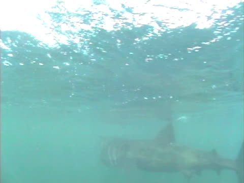 vídeos y material grabado en eventos de stock de basking shark turning head pass camera. hebrides, scotland, uk - peregrino