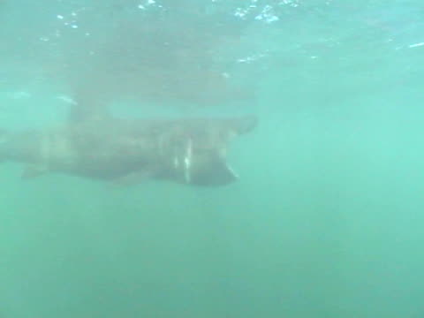 ms basking shark turning head pass camera. hebrides, scotland, uk - hebrides stock videos & royalty-free footage