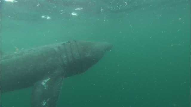 vídeos y material grabado en eventos de stock de basking shark underwater, open mouth, head under camera, cornwall, uk  - peregrino
