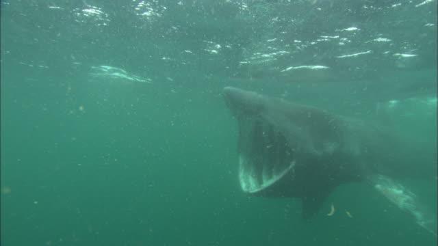 vídeos y material grabado en eventos de stock de basking shark underwater, opens mouth, away from camera, cornwall, uk  - peregrino