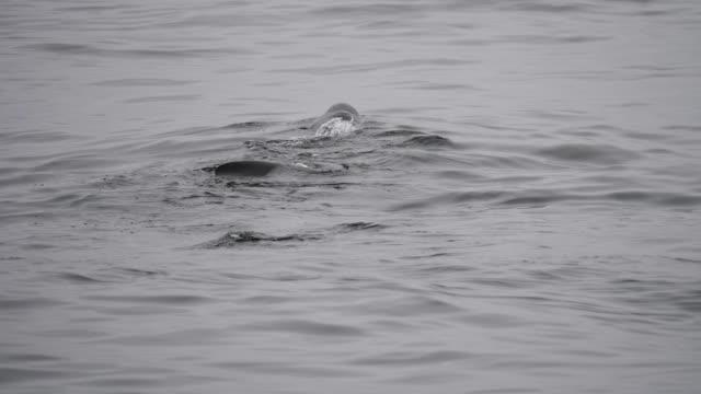 vídeos y material grabado en eventos de stock de basking shark - peregrino