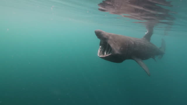 basking shark - hebrides stock videos & royalty-free footage