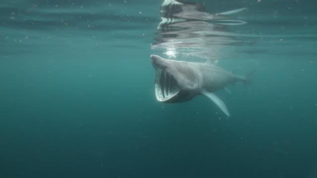 vídeos y material grabado en eventos de stock de tiburón peregrino - peregrino