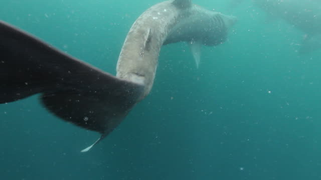 basking sharks - gill stock videos & royalty-free footage