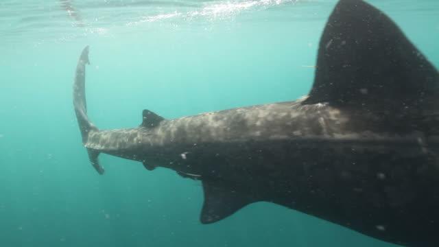 vídeos y material grabado en eventos de stock de gozar sharks - peregrino