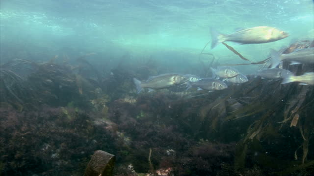 Bass (Dicentrarchus labrax) at St Bride's Bay in Pembrokeshire, Wales