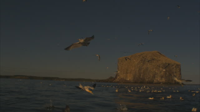 slomo ws bass rock and diving gannets and herring gulls in foreground in evening light - seagull stock videos & royalty-free footage
