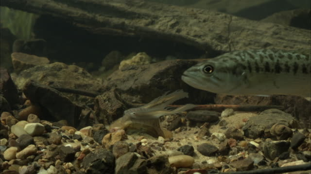 a bass swims past a mussel that exposes its fish-like mantle flap. - mollusc stock videos & royalty-free footage