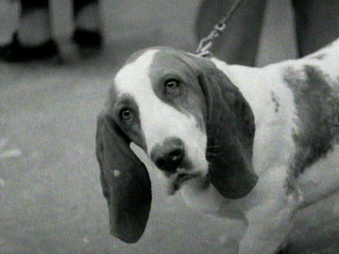 a bassett hound looks at the camera quizically 1954 - hound stock videos & royalty-free footage