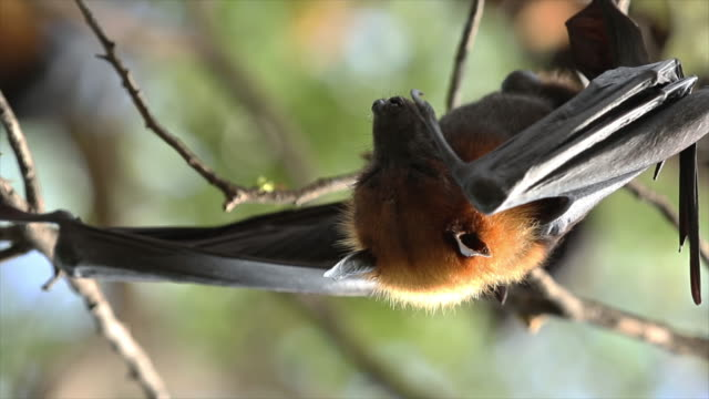 Fledermaus - Tier