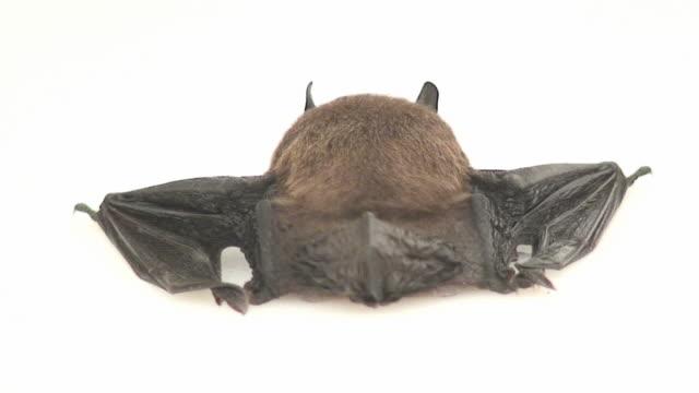 Fledermaus-Hintern