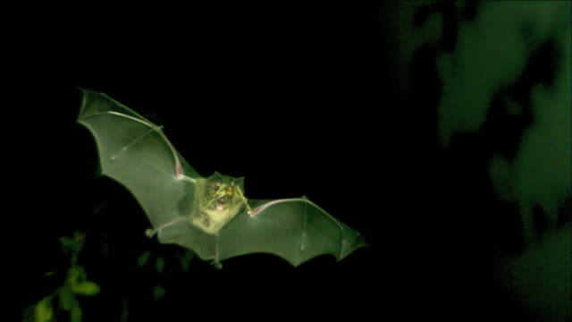 a bat catching a moth at night - zoologia video stock e b–roll