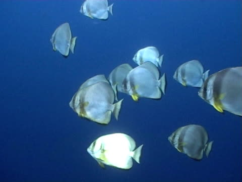bat fish, ws in open water - mittelgroße tiergruppe stock-videos und b-roll-filmmaterial