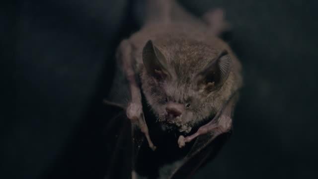 cu bat gripping on tree and eating frog / gamboa, panama - pipistrello video stock e b–roll