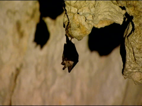 Bat hanging from overhanging rock in cave, echolocating, Parque Natural Sierras Subbeticas (Cordoba), Andalucia, Spain