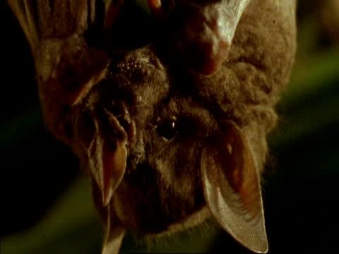 BCU Bat hanging upside-down eating fig, Panama