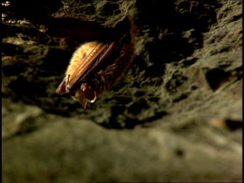 a bat hangs from the top of a cave. - kentucky stock videos & royalty-free footage