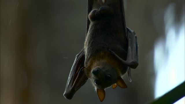bat licks leaf in rain, australia. - weather stock videos & royalty-free footage
