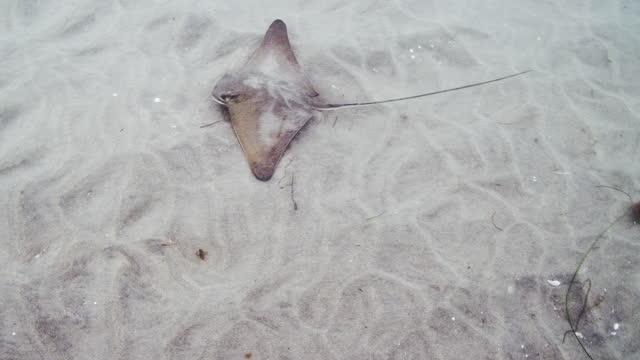 bat ray / eagle ray - トビエイ点の映像素材/bロール