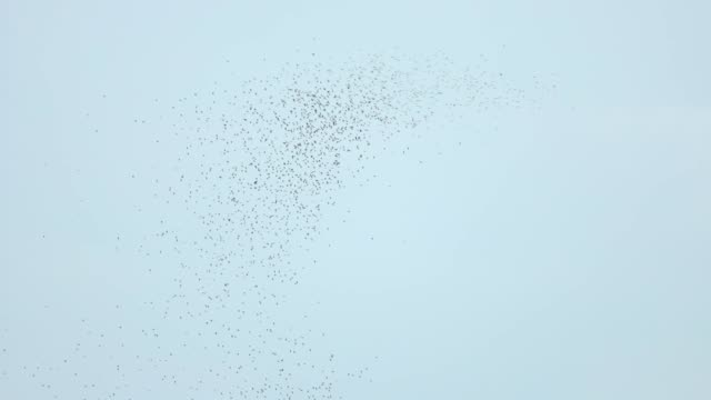 bat swarm flying on sky, slow motion - flock of birds stock videos & royalty-free footage
