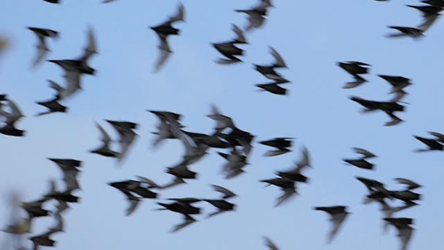 bat swarm flying on sky. - pipistrello video stock e b–roll