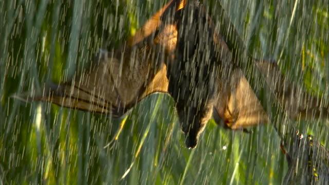 bat takes off from tree in rain, australia. - animals in the wild stock-videos und b-roll-filmmaterial