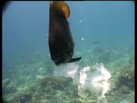 MCU Batfish and Immature Green turtle feeding on Jellyfish, Borneo