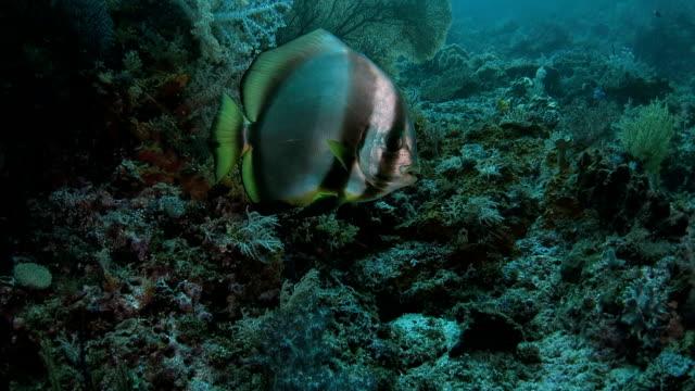 vídeos de stock, filmes e b-roll de peixe é limpo por um labroides dimidiatus - teste de coloração