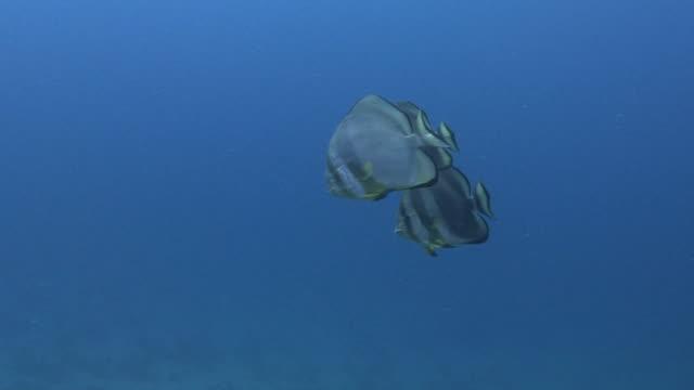 batfish - liten djurflock bildbanksvideor och videomaterial från bakom kulisserna