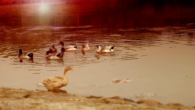bathing mallard birds in the water - water bird stock videos & royalty-free footage
