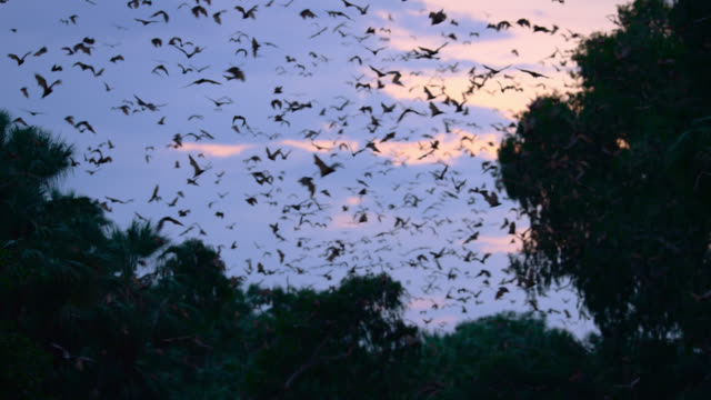 "bats fly near trees, australia. - ""bbc natural history"" stock videos & royalty-free footage"