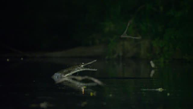 "bats fly over river near crocodile, australia. - ""bbc natural history"" stock videos & royalty-free footage"