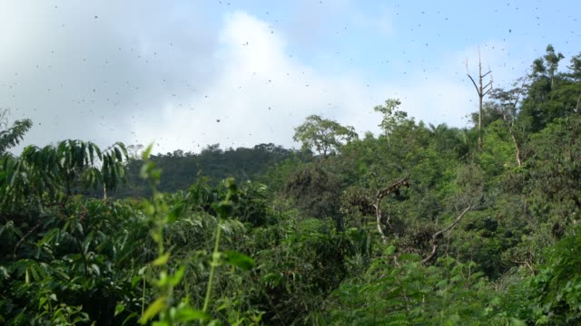 bats flying from trees in the thousands, forming an inky cloud in the sky, the sacred bat valley near kpalime, togo - pavel gospodinov stock videos & royalty-free footage