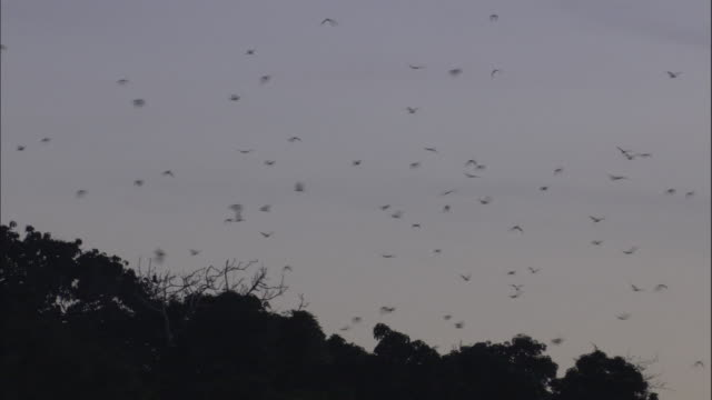 MS LA Bats flying out of forest, Ngamba Island Chimpanzee Sanctuary, Ngamba Island, Uganda