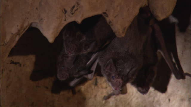 Bats hang from the roof of a cave.