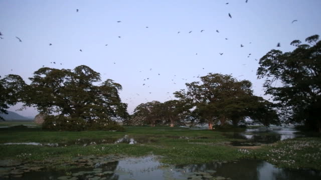 Bats- Indian flying foxes (Pteropus giganteus) in roost colony, preparing to leave the roost  after sunset
