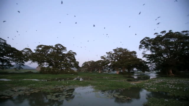 bats- indian flying foxes (pteropus giganteus) in roost colony, preparing to leave the roost  after sunset - dusk stock videos & royalty-free footage
