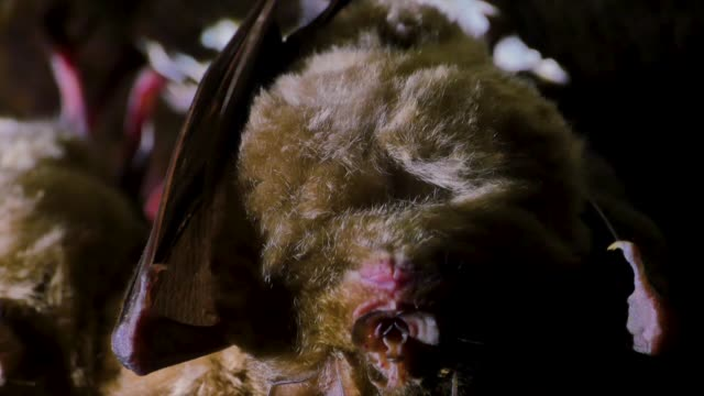 bats resting hanging upside down, gangwon province, south korea - south korea stock videos & royalty-free footage