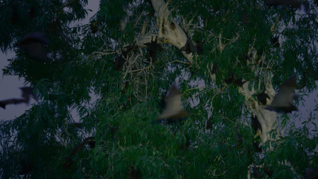 """bats roost in trees, australia. - """"bbc natural history"""" stock videos & royalty-free footage"""
