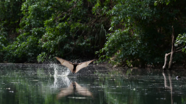 """bats skim river for water, australia. - """"bbc natural history"""" stock videos & royalty-free footage"""