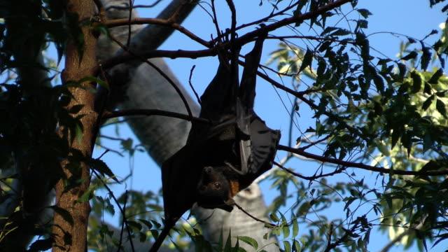 bats - pipistrello video stock e b–roll