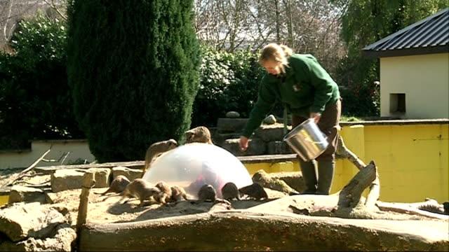 battersea park children's zoo; anita halligan feeding meerkats in enclosure close shot meerkats - battersea park stock videos & royalty-free footage