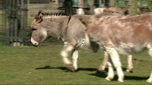 battersea park children's zoo; donkeys in field - battersea park stock videos & royalty-free footage