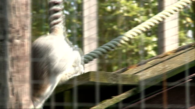 battersea park children's zoo; lemur along and jumping from roof in enclosure - battersea park stock videos & royalty-free footage
