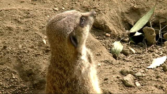 battersea park children's zoo; meerkat looking around - battersea park stock videos & royalty-free footage