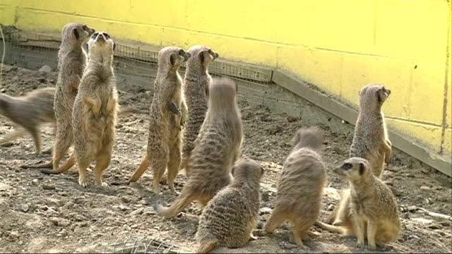 battersea park children's zoo; meerkats standing up and then running away - battersea park stock videos & royalty-free footage