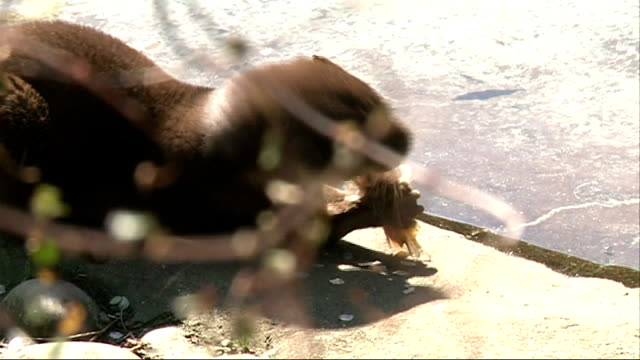battersea park children's zoo; otter eating piece of fish anita halligan telling children about the otter sot otters swimming in pool otter eating... - battersea park stock videos & royalty-free footage