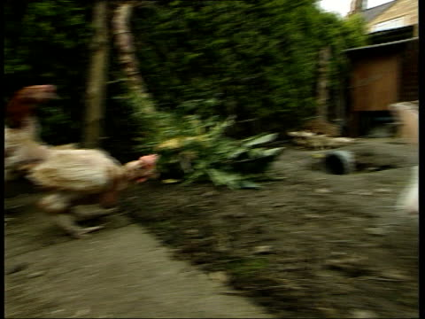 stockvideo's en b-roll-footage met battery hans rescued; england: northants: kettering: ext two ex-battery hens pecking from grain in trays in back garden of house tilt up reporter to... - see other clips from this shoot 1900