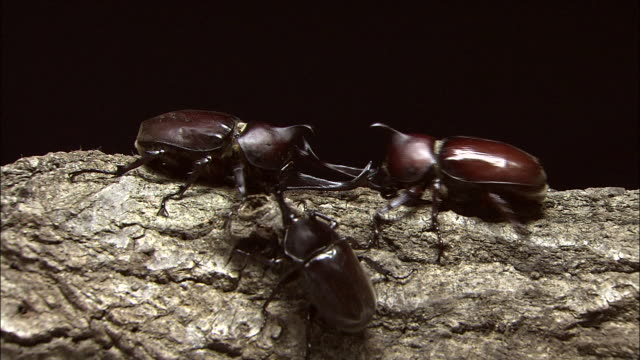 Battle Among Japanese Rhinoceros Beetles