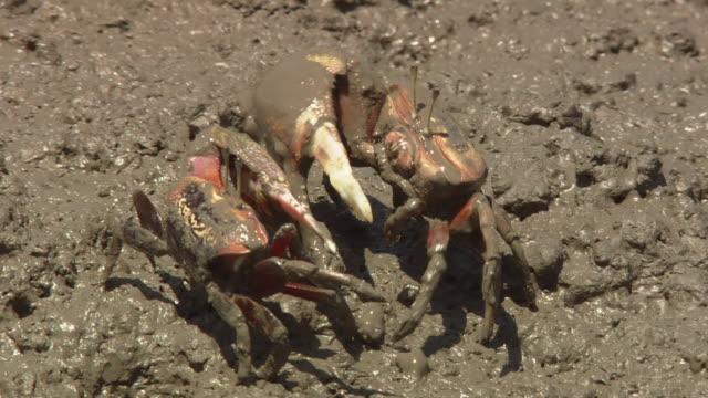 battle between fiddler crabs - invertebrate stock videos & royalty-free footage